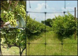 lots of rain and healthy grapes!