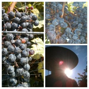 is that YOU in the big hat, picking grapes?