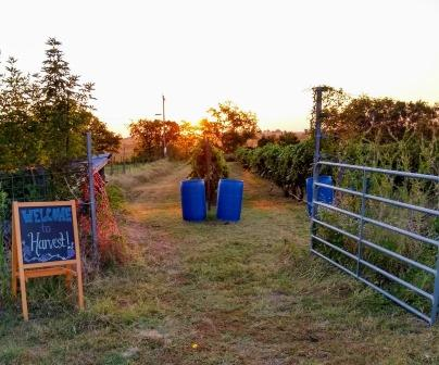 welcome to harvest sign next to open gate to vineyard.  sun rising in background
